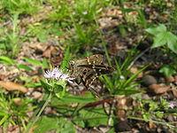 Long-tailed Skipper Butterfly (Urbanus proteus) 2.JPG