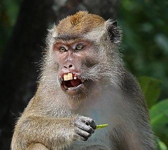 Long-tailed macaque (Macaca fascicularis) Labuk Bay