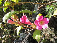 Lophospermum erubescens (Flower) 2