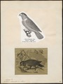 Lorius domicella - 1700-1880 - Print - Iconographia Zoologica - Special Collections University of Amsterdam - UBA01 IZ18500286.tif
