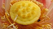 Nelumbo nucifera wikipedia carpellary receptacle of lotus mightylinksfo