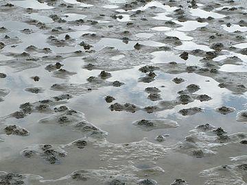 Lugworm casts on Gullmarsviken mudflats 2.jpg