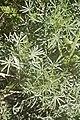 Lupinus angustifolius--2053.jpg