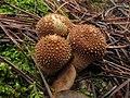 Lycoperdon perlatum - bejín perlado (15546362127).jpg
