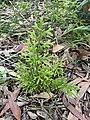 Lycopodium deuterodensum 03.jpg