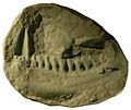 Lycorhinus.jpg