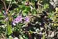 Lythrum junceum 2.jpg