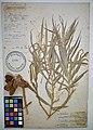 MNH DA 017-PAND-021 Freycinetia cumingiana Gaudich.jpg