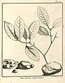 Macahanea guianensis Aublet 1775 pl 371.jpg