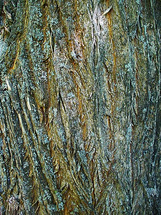 Maclura pomifera - Image: Maclura pomifera 008