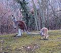 Macropus rufus 2 prague zoo.jpg