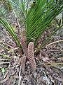 Macrozamia mountperriensis cones (male).jpg
