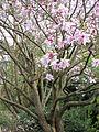 Magnolia dawsoniana (1).jpg
