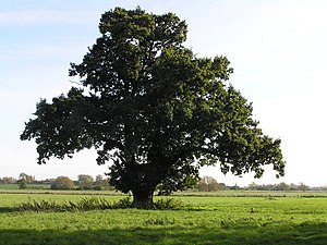 Majestic Oak in the Tove Valley - geograph.org.uk - 281416.jpg