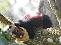 Malabar Giant Squirrel DSCN0179.jpg
