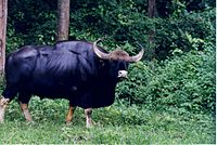 Male Gaur (asiatic wild ox) at Nagarahole wildlife sanctuary.jpg