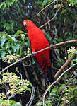 Male King Parrot in south-east Queensland