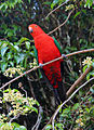 Male King Parrot in South-East Queensland.jpg
