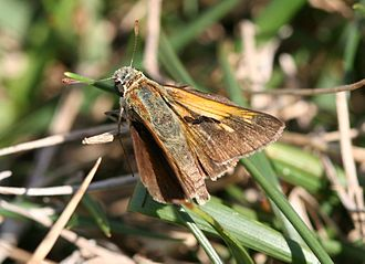 Polites (butterfly) - Tawny-edged skipper (Polites themistocles), male