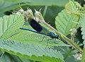 Male banded demoiselle (Calopteryx splendens), Sandy, Bedfordshire (27416017450).jpg