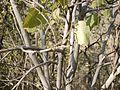 Mallotus polycarpus (8502198217).jpg
