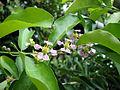 Malpighia glabra (5).JPG