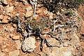 Malta - Ghajnsielem - Comino - Euphorbia melitensis 03 ies.jpg