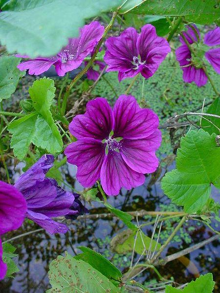 plante mellifère - la mauve sylvestre (Malva sylvestris) | Apiculture: le blog d'un apiculteur ...