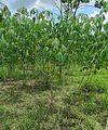 Manihot esculenta, the Cassava plant (17254469394).jpg