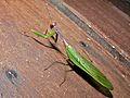 Mantis (Hierodula sp.) (8405914757).jpg