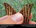 Many-banded Daggerwing or Mariposa Daga (Nymphalidae, Marpesia chiron (Fabricius)) (31578762580).jpg