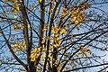 Maria Saal Domplatz nahe Propsthof herbstlicher Ahornbaum 31102018 5254.jpg