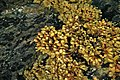 Marine algae encrusting rockground (Seal Cove, Mt. Desert Island, Maine, USA) 2.jpg
