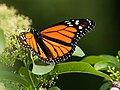Mariposa Monarca (Danaus plexippus) (5185513148).jpg