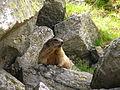 Marmotta1.JPG