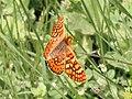 Marsh Fritillary. Euphydryas aurinia - Flickr - gailhampshire.jpg