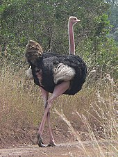 https://upload.wikimedia.org/wikipedia/commons/thumb/3/37/Masai_ostrich.jpg/170px-Masai_ostrich.jpg