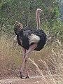 Masai ostrich.jpg