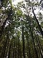 Masinagudi habitat Silver Oak Grevillea robusta IMG 20180505 124232659.jpg
