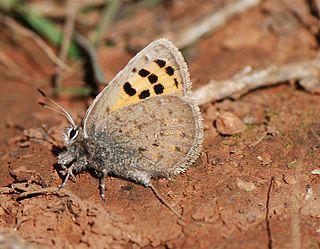 <i>Tomares mauretanicus</i> species of insect