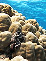 Maxima clam on a dome coral.JPG