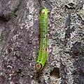 Measuring worm having markings like skull face.jpg