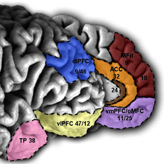 Prefrontal cortex - Medial and lateral view of the PFC