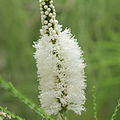 Melaleuca huegelii-IMG 7161.jpg