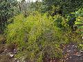 Melaleuca uxorum 02.JPG