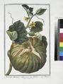 Melo sive Melopepo vulgo - Melone - Melon (Melo vulgaris) (NYPL b14444147-1124993).tiff