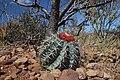 Melocactus zehntneri ssp. douradaensis.jpg