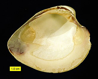 Hard clam - Left valve interior of Mercenaria mercenaria.