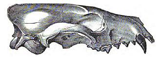 Hesperocyoninae - Skull of Mesocyon coryphaeus