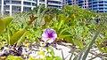 Miami Beach - South Beach Sand Dune Flora - Ipomoea pes-caprae (27).jpg